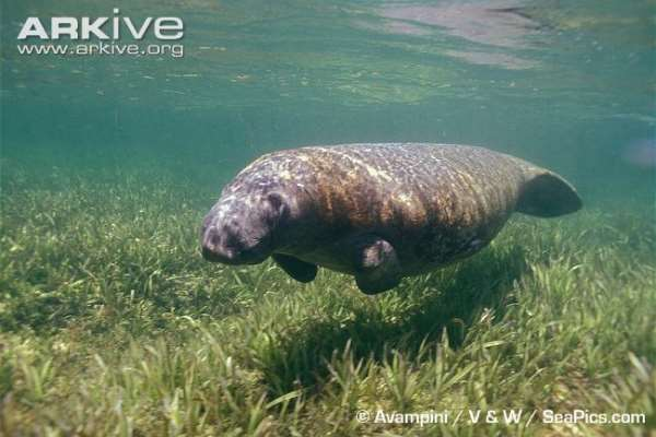 Manatee in seagrass