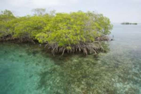 mangrove in clear water